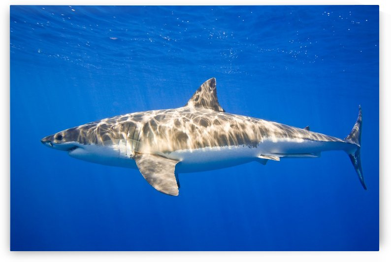 Great White Shark (Carcharodon Carcharias) by PacificStock