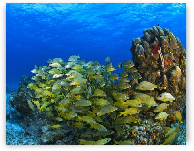 Schooling Fish On Coral Reef, Cozumel, Mexico by PacificStock