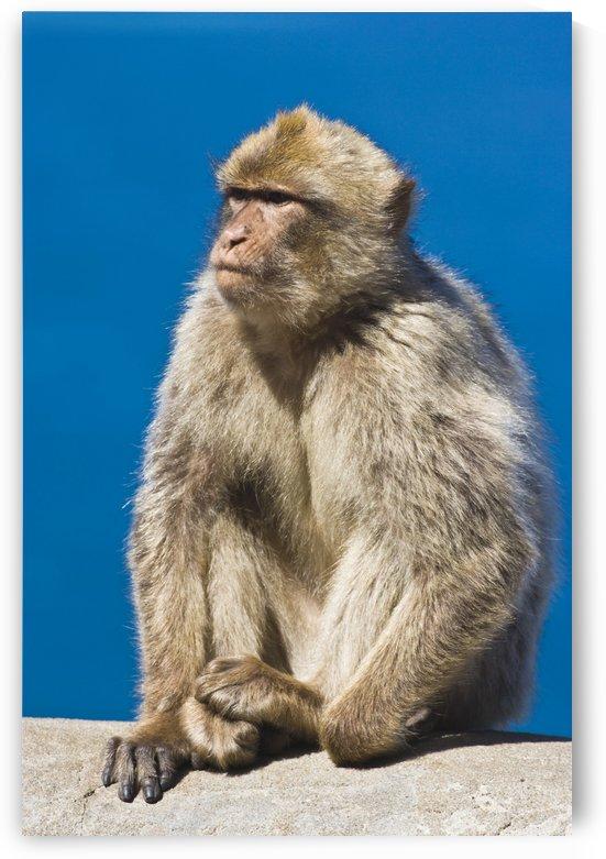 Gibraltar Barbary Macaque (Macaca Sylvanus) by PacificStock