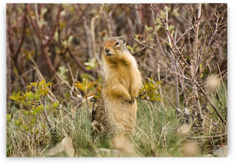Colombian Ground Squirrel by PacificStock