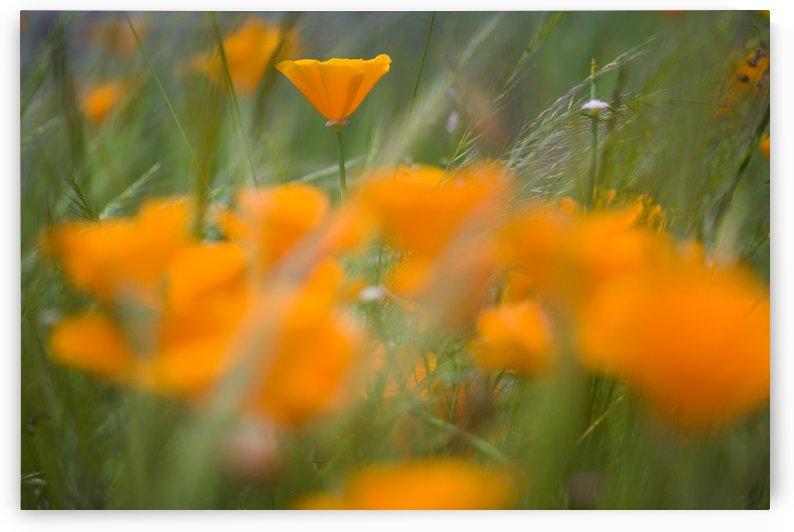 Close Up Of Orange Poppy Flowers by PacificStock