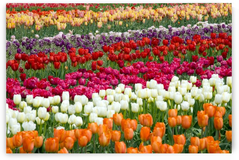A Tulip Field by PacificStock