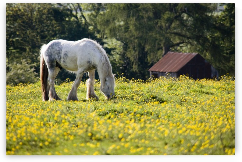 Horse Grazing In Field Of Buttercups by PacificStock