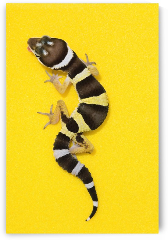 Baby Leopard Gecko On Yellow by PacificStock