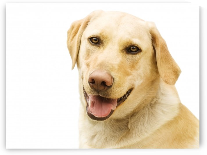 A Golden Labrador by PacificStock