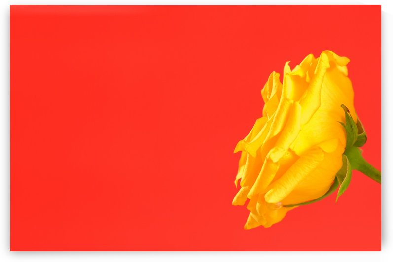 Yellow Rose On Red by PacificStock