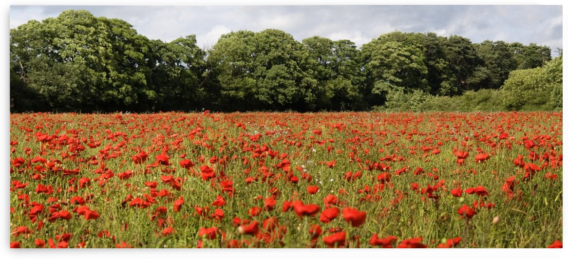 Poppy Field by PacificStock