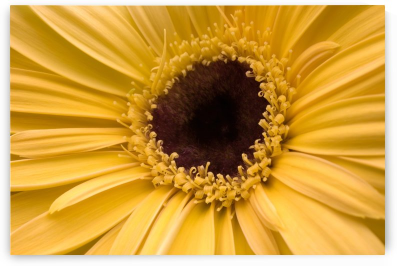 Close Up, Gerbera Daisy by PacificStock