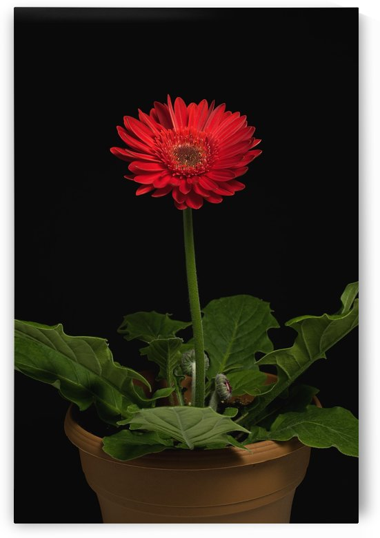 A Red Gerbera In A Pot by PacificStock