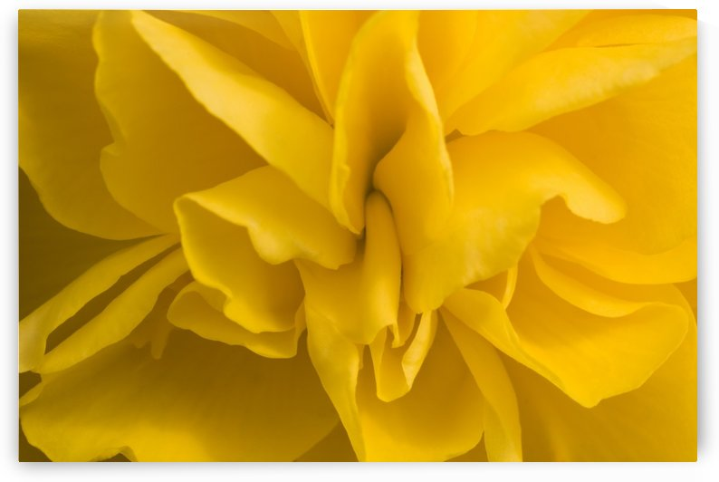 A Golden Begonia by PacificStock