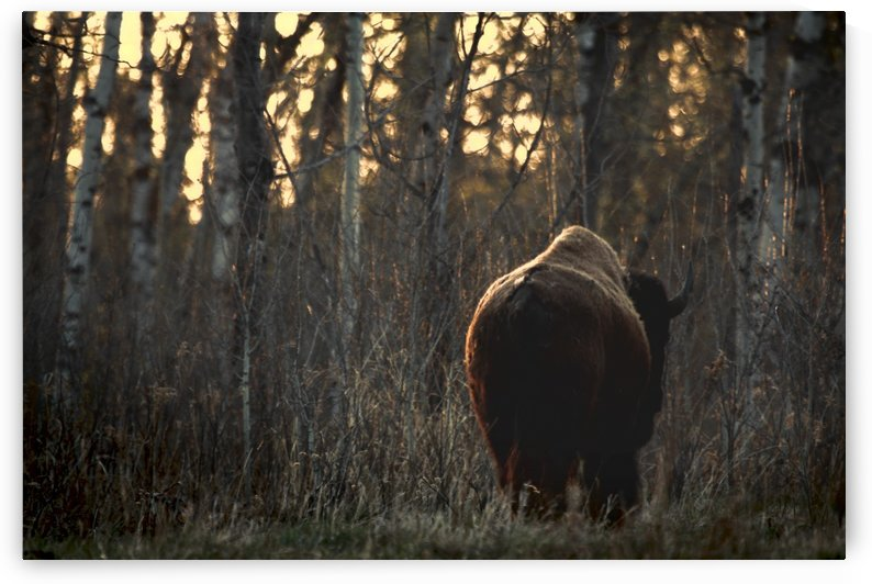 Rear View Of One Buffalo by PacificStock
