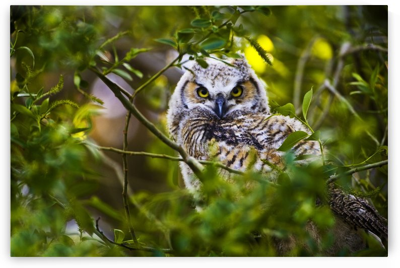 Great Horned Owlet by PacificStock