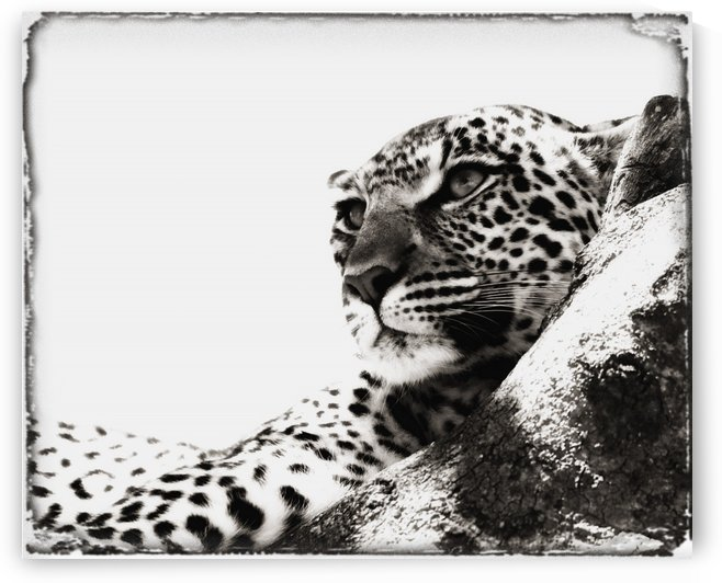 Portrait Of An African Leopard, Botswana, Africa by PacificStock