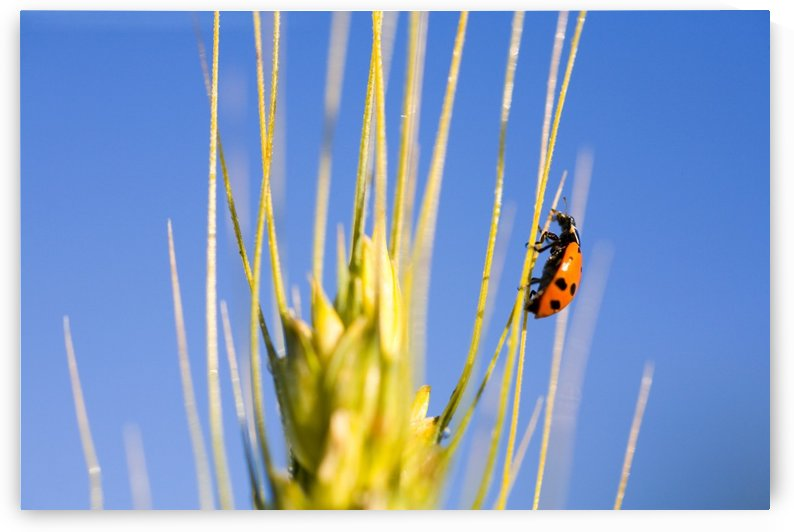 Ladybug On Wheat by PacificStock