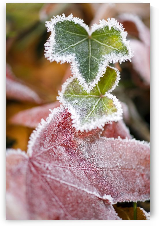 Frost On Autumn Leaves by PacificStock