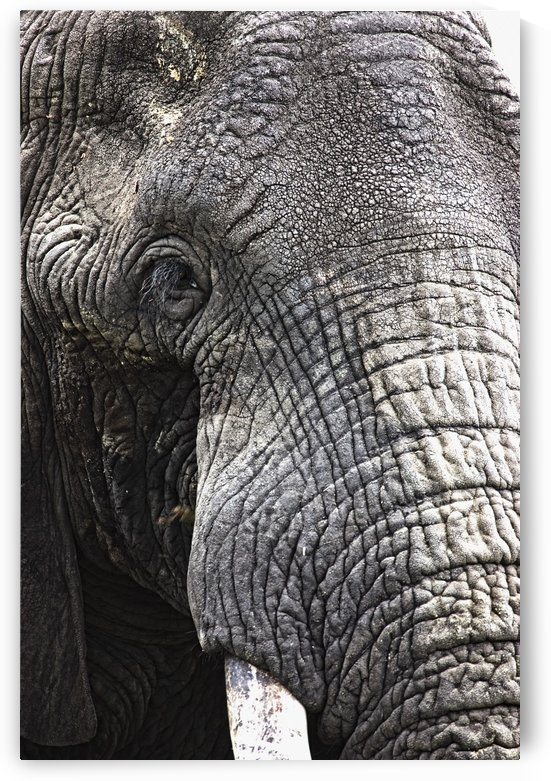 Portrait Of African Bull Elephant by PacificStock