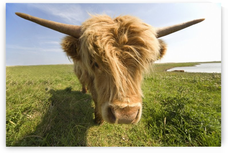 Highland Cow, North Yorkshire, England by PacificStock