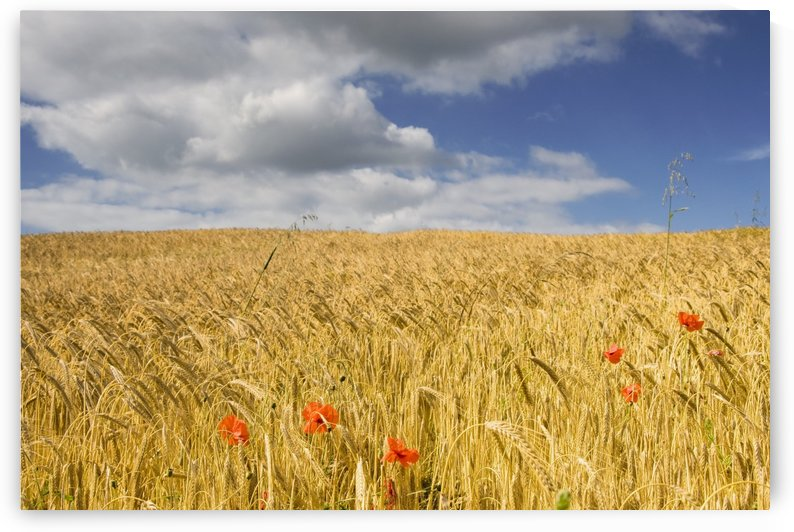 Wild Poppies In Wheat Field, North Yorkshire, England by PacificStock