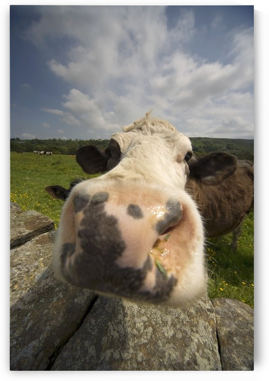 Cow, North Yorkshire, England by PacificStock