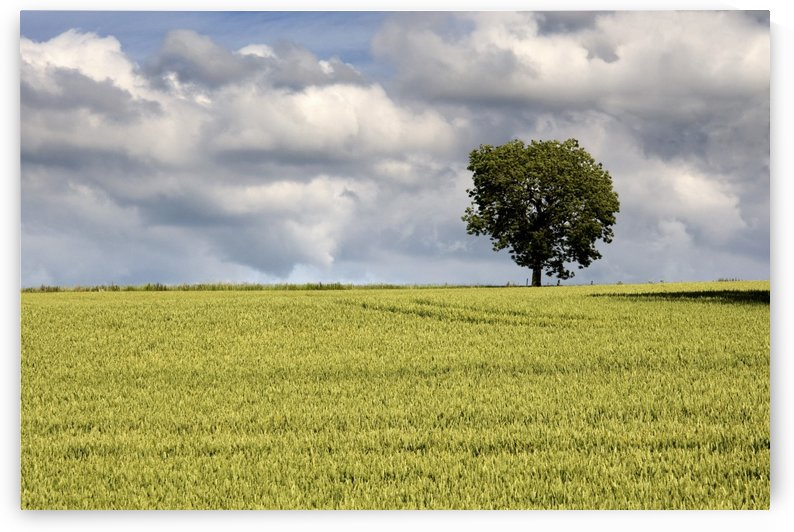 Wheat Field, North Yorkshire, England by PacificStock