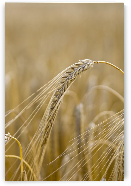 Close-Up Of Wheat by PacificStock