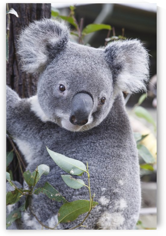 Koala In Tree, Phascolarctos Cinereus, Australia by PacificStock