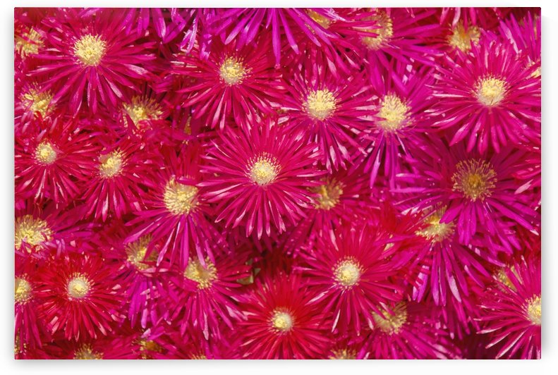 Trailing Ice Plant (Lampranthus Spectabilis) by PacificStock
