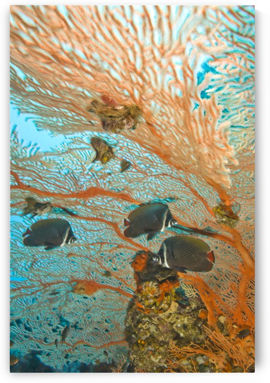 Collare Butterflyfish by PacificStock