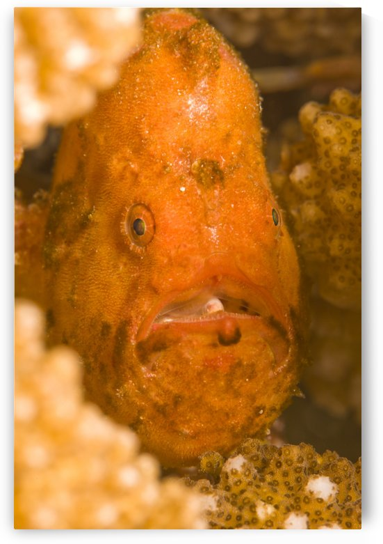 Spotfin Frogfish (Antennarius Nummifer) by PacificStock