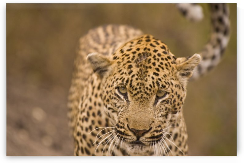 Leopard (Panthera Pardus), Arathusa Safari Lodge, Sabi Sand Reserve, Mpumalanga, South Africa, Africa by PacificStock