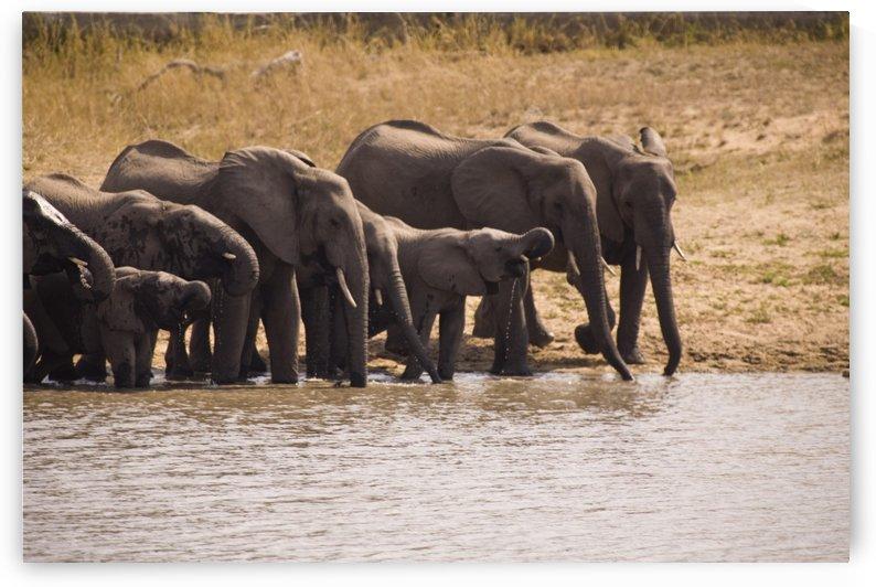 African Elephant (Loxodonta Africana), Arathusa Safari Lodge, Sabi Sand Reserve, Mpumalanga, South Africa, Africa by PacificStock