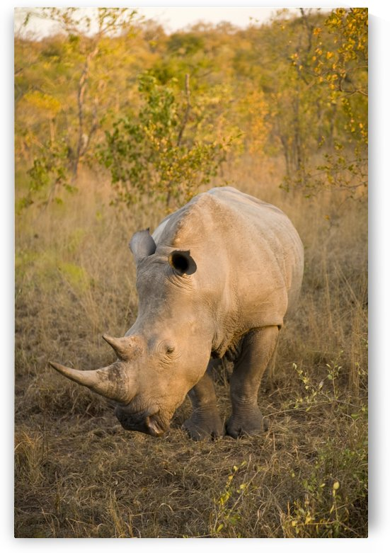 White Rhinoceros (Ceratotherium Simum), Arathusa Safari Lodge, Sabi Sand Reserve, Mpumalanga, South Africa, Africa by PacificStock