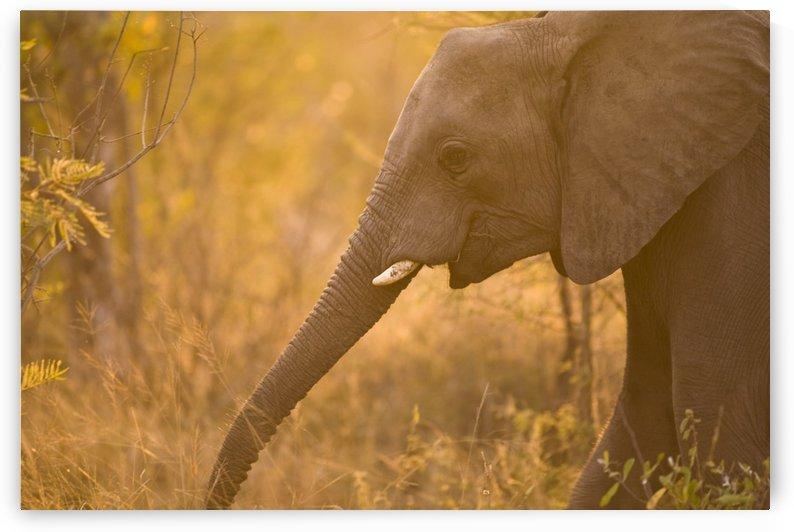 African Elephant (Loxodonta Africana), Arathusa Safari Lodge, Sabi Sand Reserve, Mpumalanga, South Africa by PacificStock