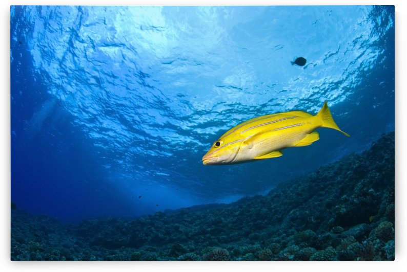 Yellowtail Snapper, Molokini Crater, South Maui, Hawaii, Usa by PacificStock