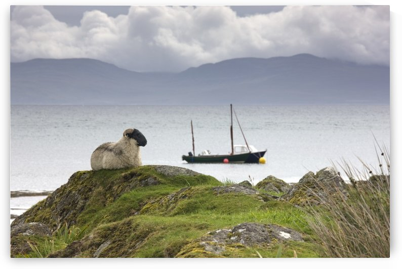Sheep Enjoying The View, Scotland by PacificStock