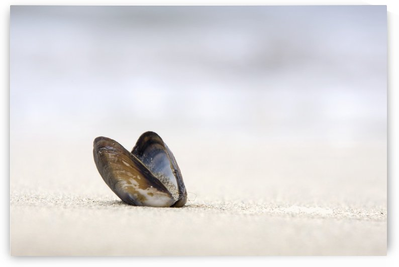 Empty Shell On The Sand by PacificStock