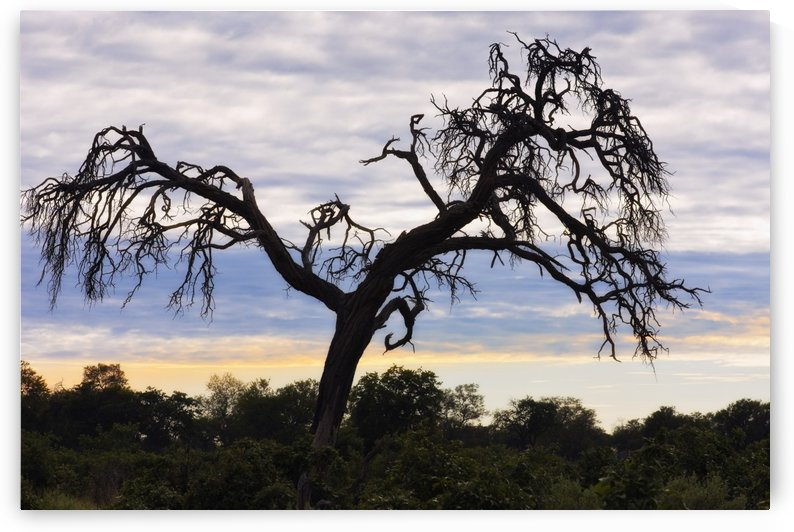 Camel Thorn Tree, Tanzania, Africa by PacificStock