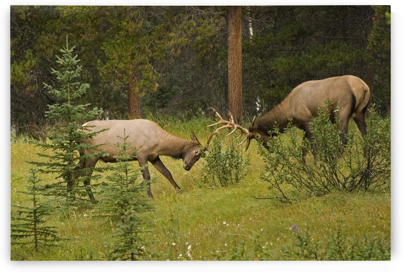 Bull Elk Fighting, Banff National Park, Banff, Alberta, Canada by PacificStock