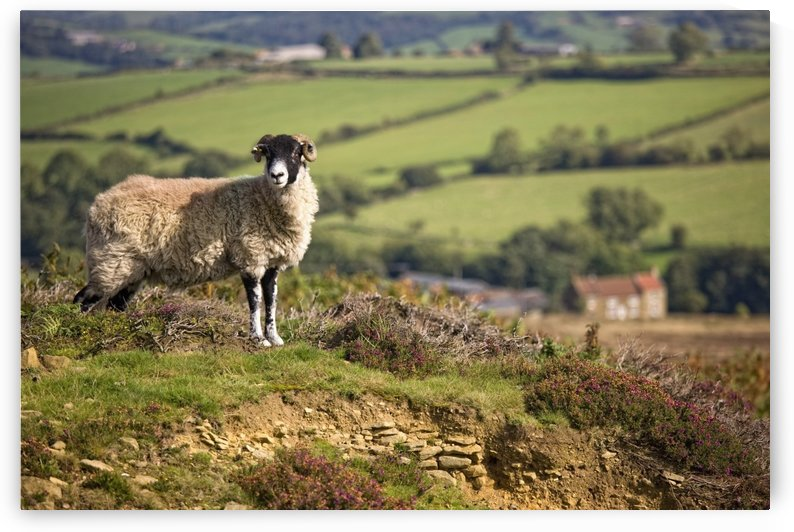 Sheep, North Yorkshire, England by PacificStock