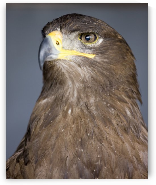 Golden Eagle (Aquila Chrysaetos) by PacificStock