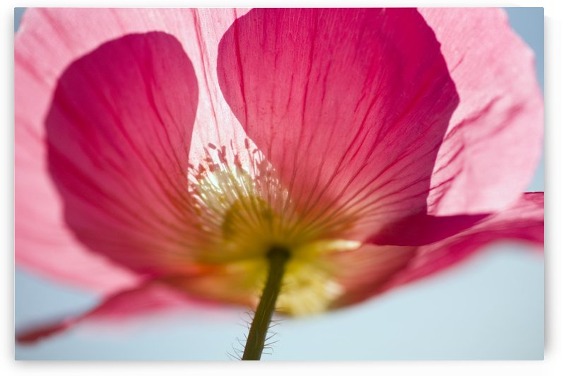 Pink Shirley Poppy by PacificStock