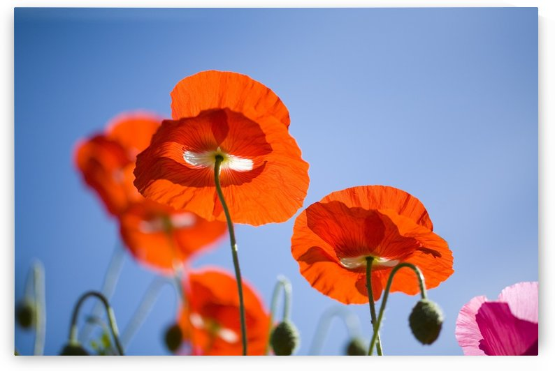 Shirley Poppies by PacificStock