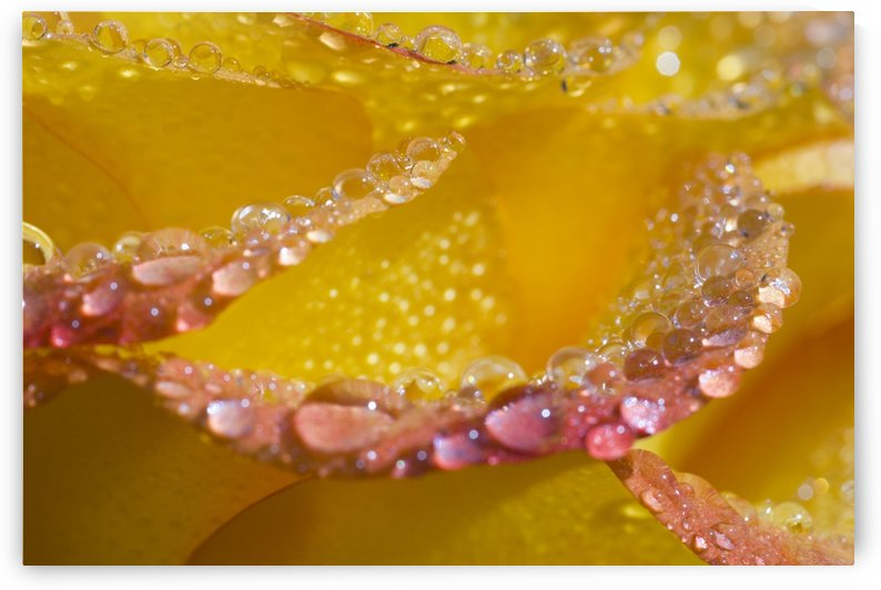 Dew On Flower Petals by PacificStock