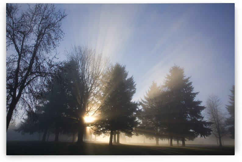Sunray Through Trees And Fog by PacificStock