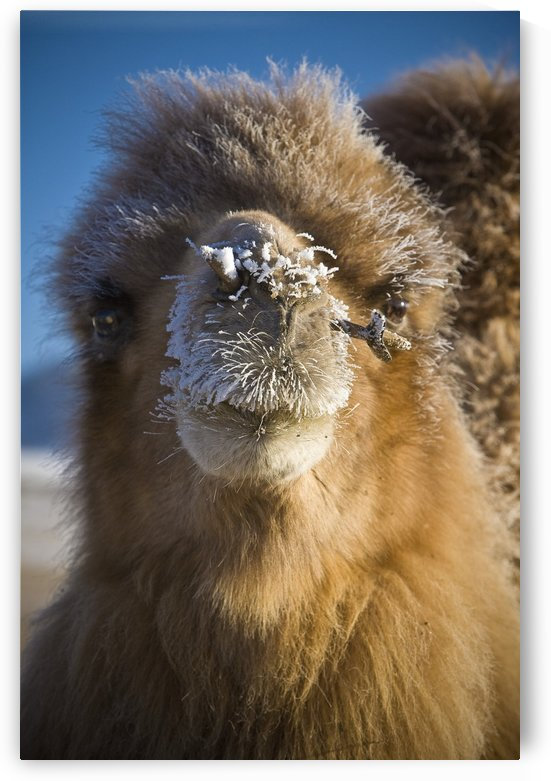 Bactrian Camel (Camelus Bactrianus), Mongolia by PacificStock