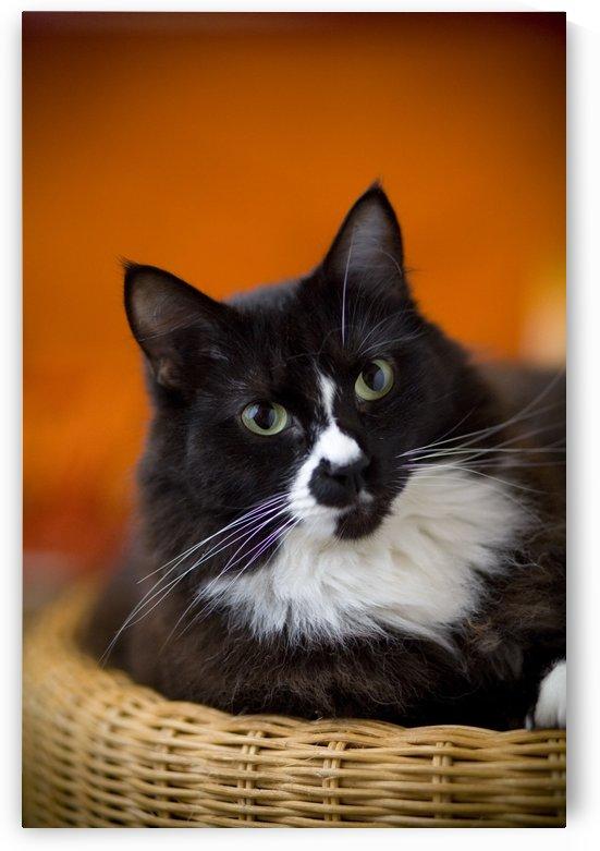 Portrait Of A Cat by PacificStock