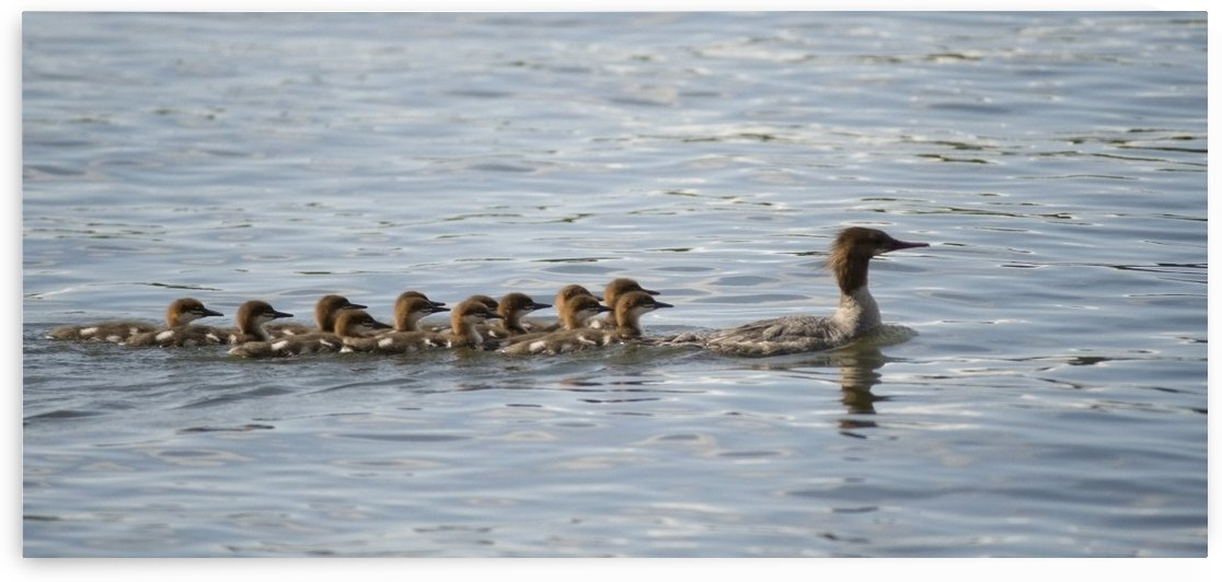 Duck And Ducklings Swimming In A Row by PacificStock
