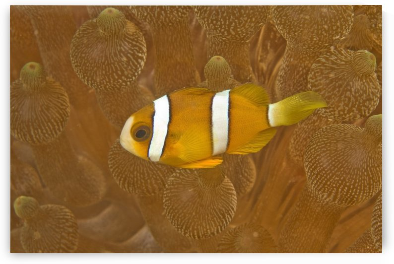 Anemonefish, Sea Anemone, Puerto Galera, Philippines, Asia, Europe by PacificStock