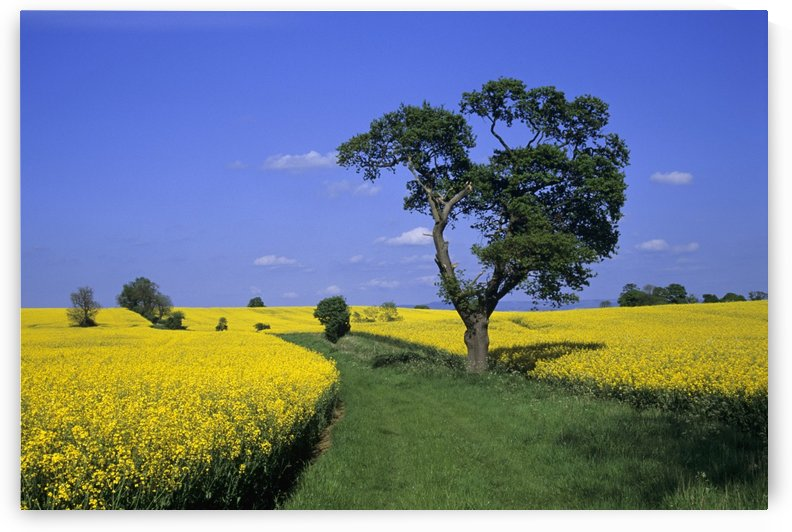 Field Of Rapeseed, North Yorkshire, England by PacificStock