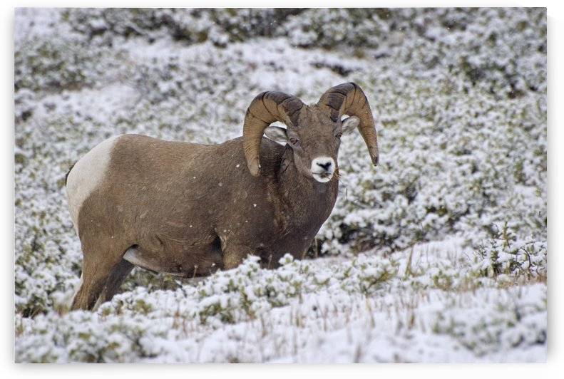Jasper National Park, Alberta, Canada; Bighorn Sheep (Ovis Canadensis) by PacificStock
